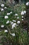 Fleurs de tourbieres
