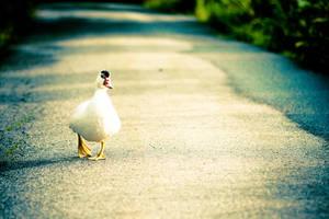 Duck by shhilja