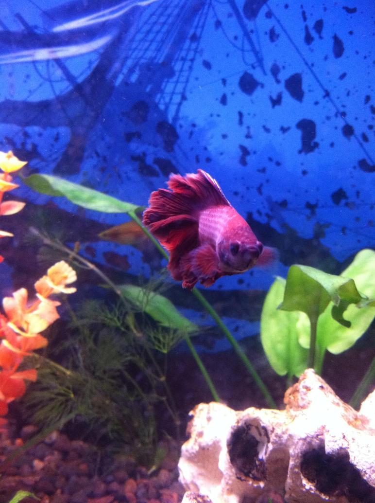 My Betta fish: Ares by Pirateofurworld