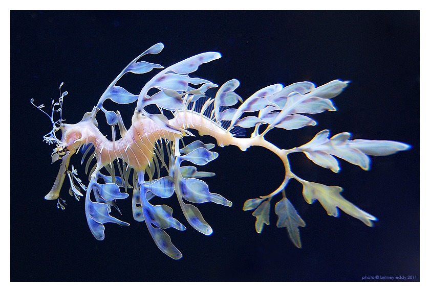 Leafy Sea Dragon by briteddy on DeviantArt