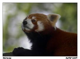 Red Panda by carterr