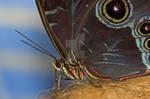 Owl Butterfly Macro
