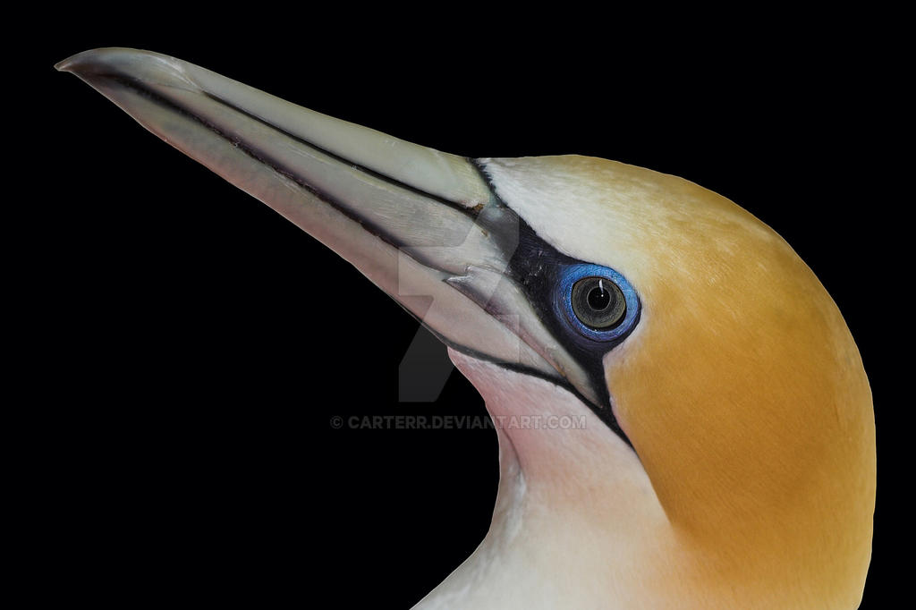 New Zealand Gannet by carterr