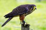 New Zealand Bird of Prey by carterr