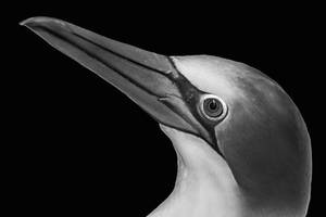The Gannet by carterr