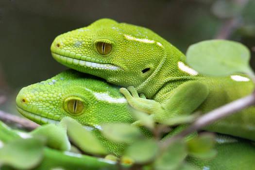 Wellington Green Gecko