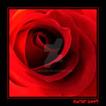 Red Rose 2 by carterr
