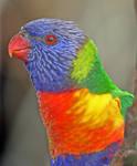 Rainbow Lorikeet by carterr