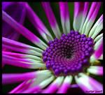 The Purple Jewel