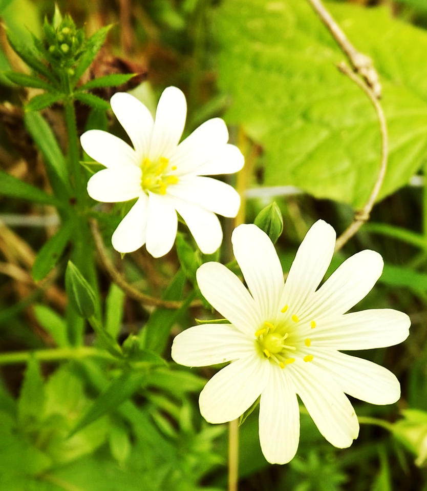 Delicate White Woodland Flowers By Summer Blue On Deviantart
