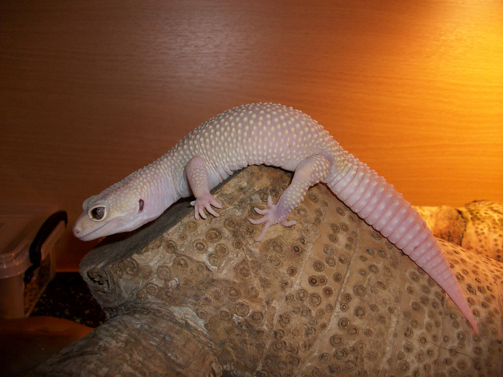 Guide to Breeding Leopard Geckos on a Small Scale  Gecko