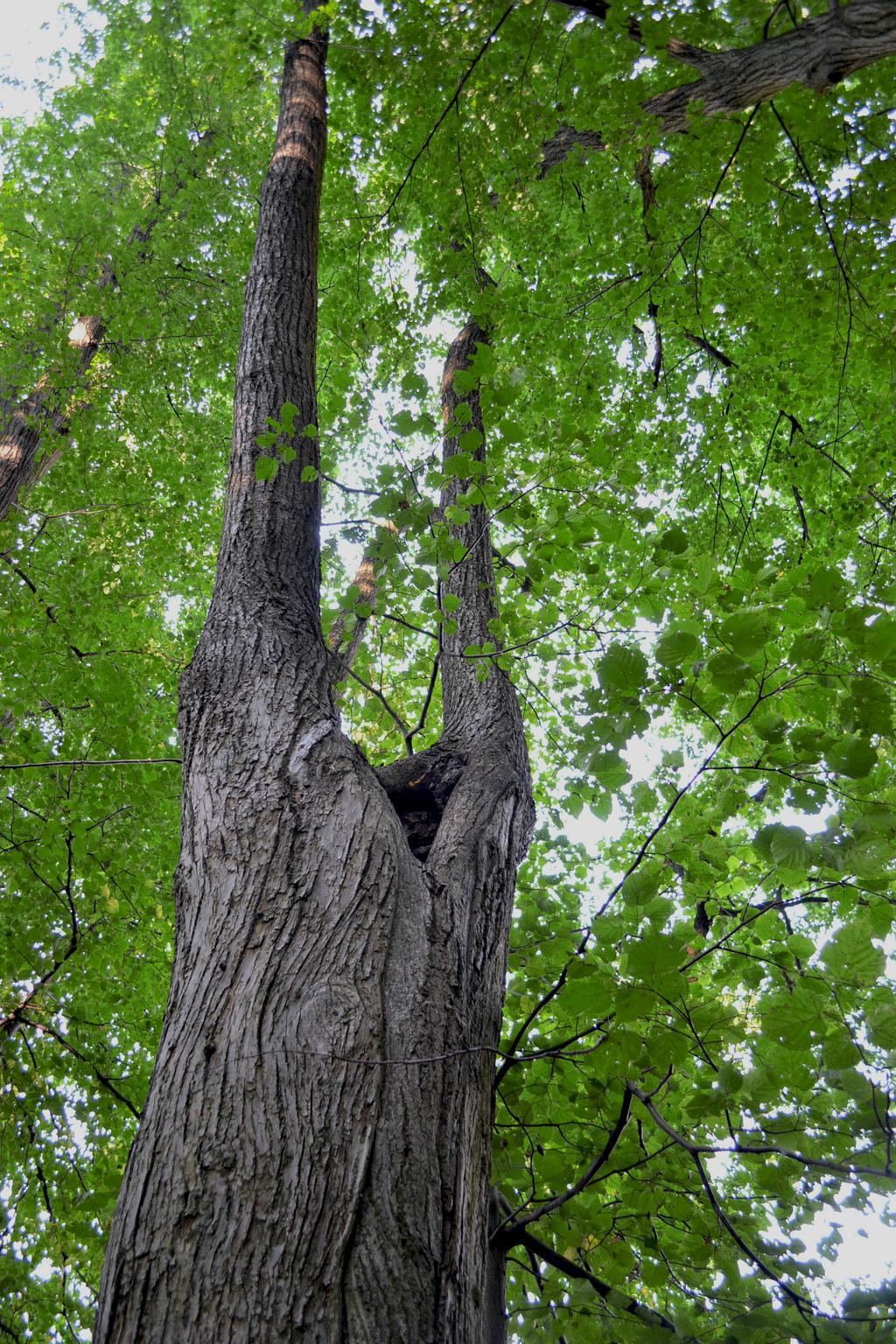 Czech Tree by Louliecz