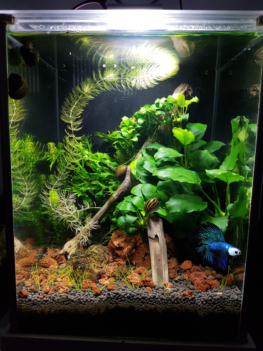 Aquascape Betta Fish
