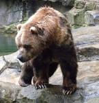 Kodiak Bear 1
