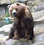 Kodiak Bear 2