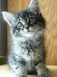 Kitten by Boosue