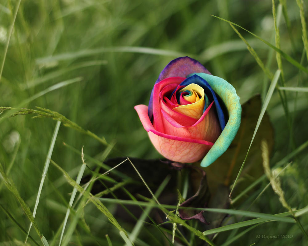 Rainbow rose by aurionphog on deviantart for Where to get rainbow roses