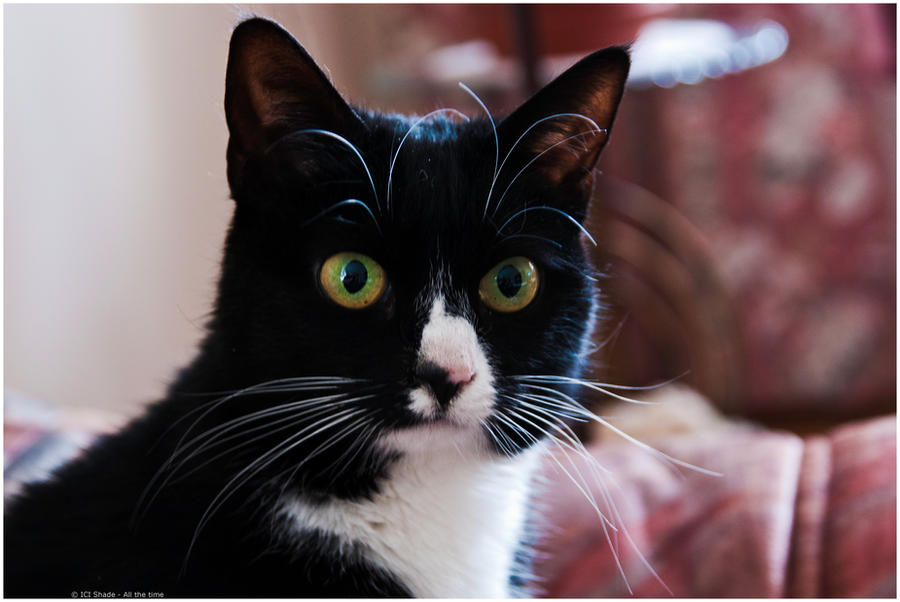 svml my swedish cat by andyshade on deviantart
