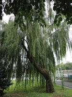 Weeping willow by Simbores