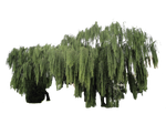 Weeping willow plant cut-out