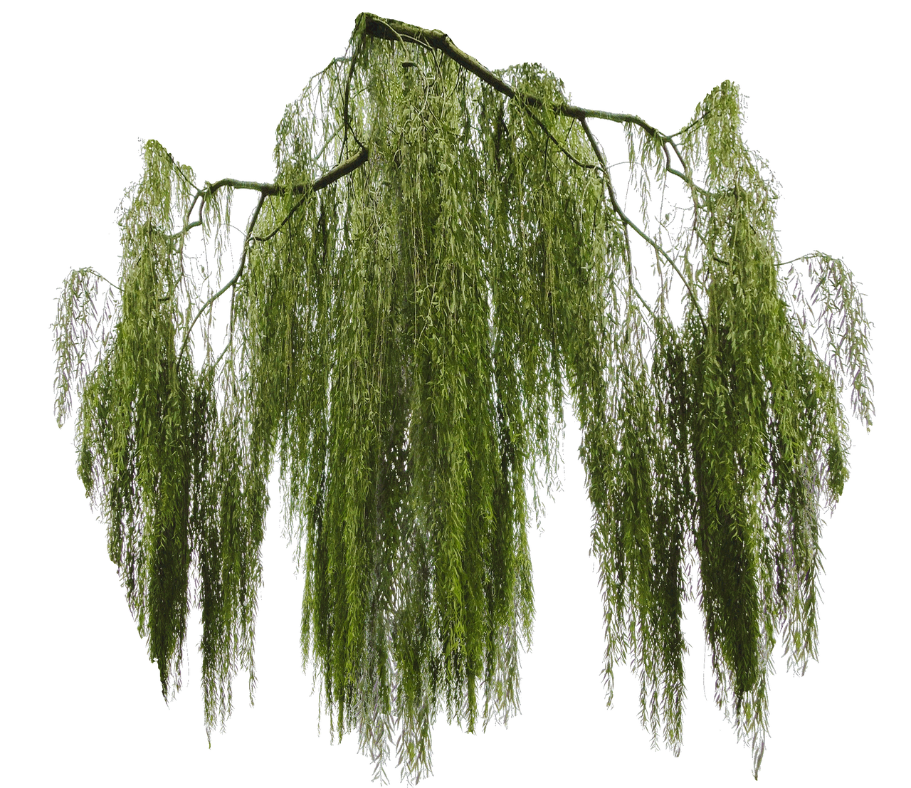 Weeping willow branch cut-out