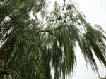 Weeping willow 01