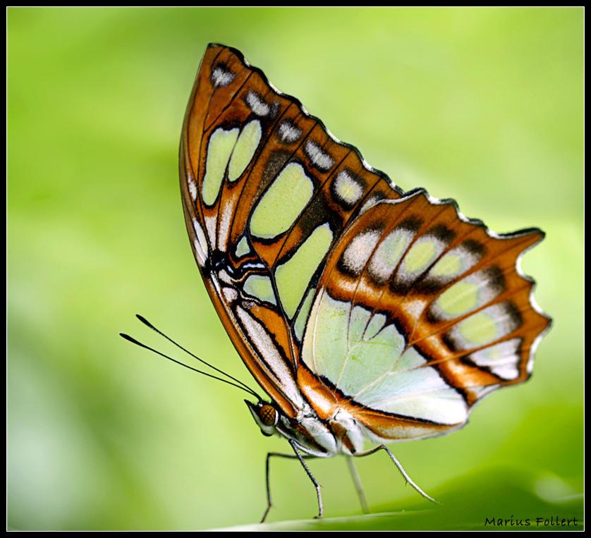 Butterfly v3 by Pilzbauer