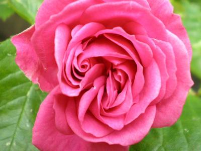 Rose by Wolfsseele