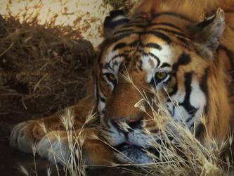 sad tiger by orsoinletargo