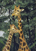 Giraffes by DryJack