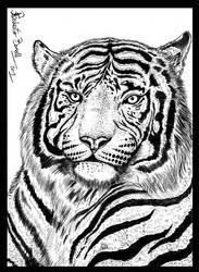 White Tiger study - sketch