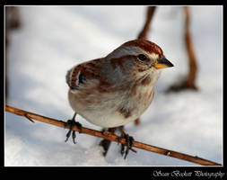American Tree Sparrow 2 by seanbeckettvt