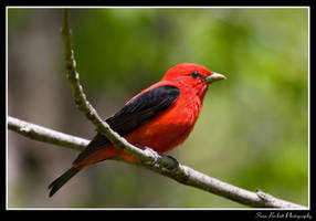 Scarlet Tanager by seanbeckettvt