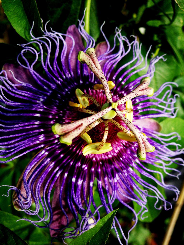 Passion Flower Vers.2 by Kami-no-kuroi-namida