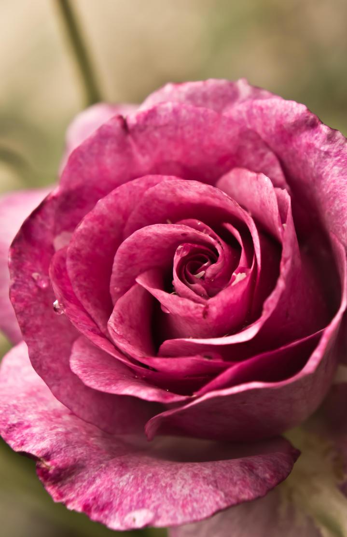 dark pink roses - 719×1112
