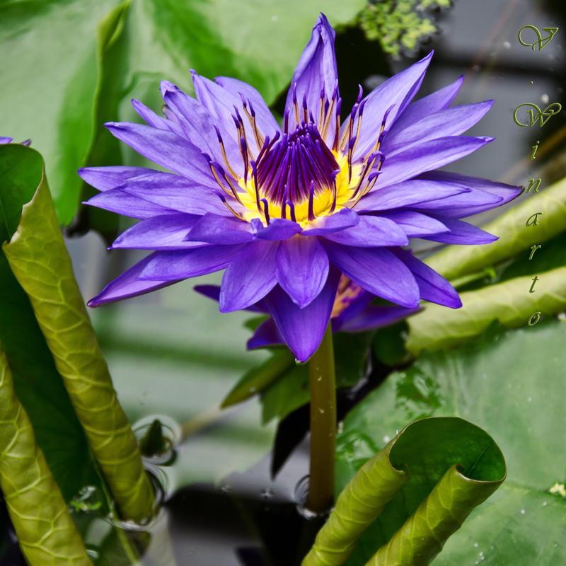 Purple Spell by Kami-no-kuroi-namida
