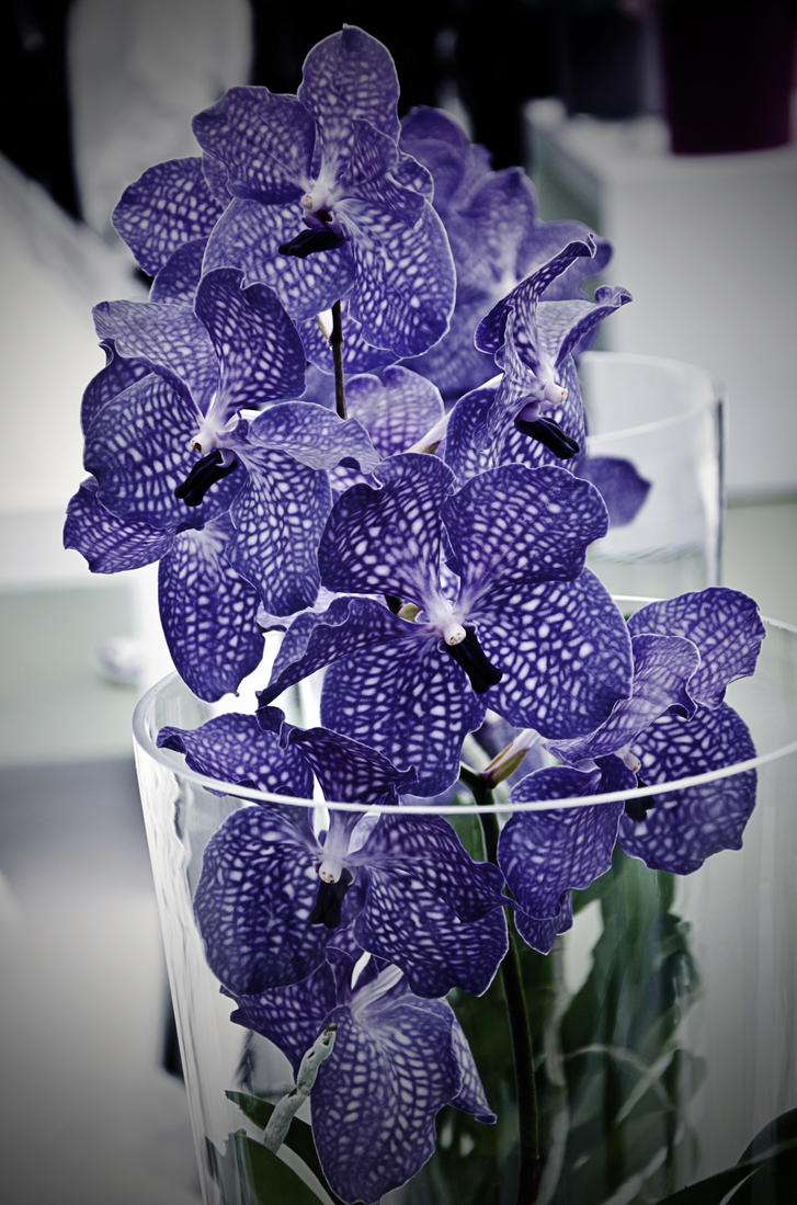 Orchid mania by Kami-no-kuroi-namida