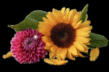 Sunflower- Remove Background