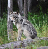 wolf 9 by purple007