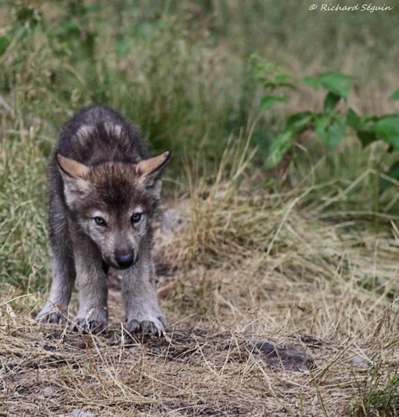 Scared wolf pup