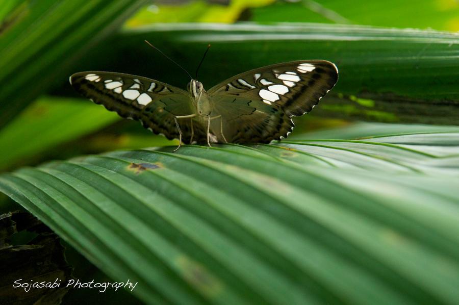 butterfly 2 by Sojasabi