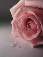 rose 4 by atreja-stock