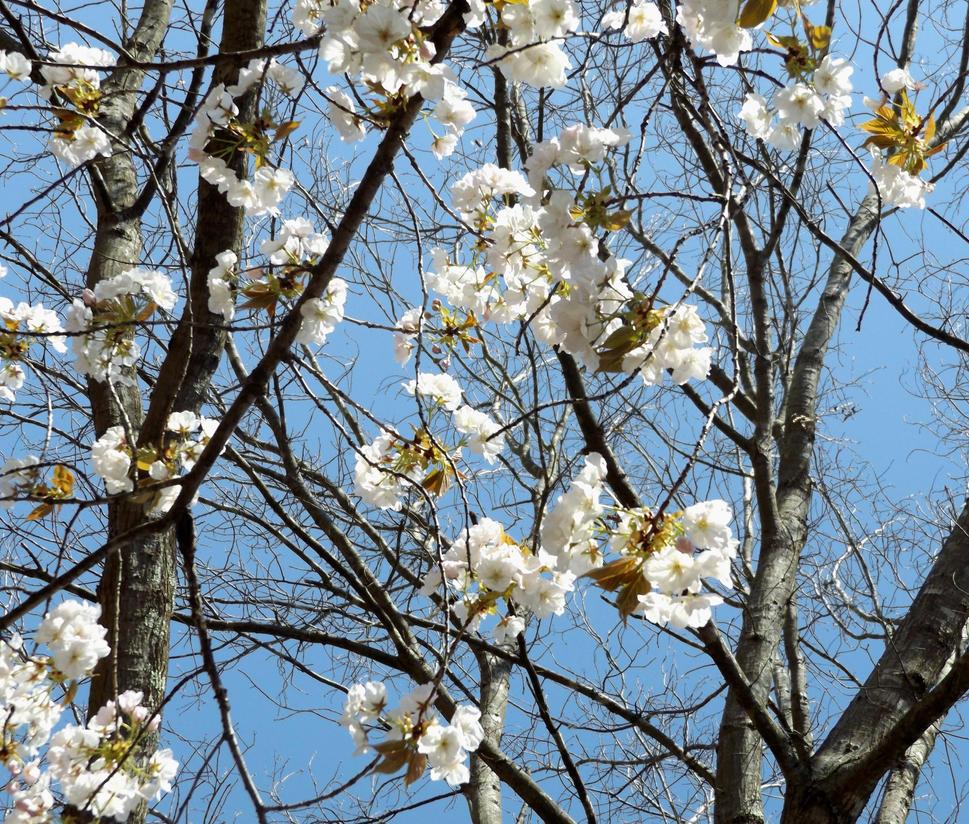 White Tree Petals 4 By Entitylvr On Deviantart