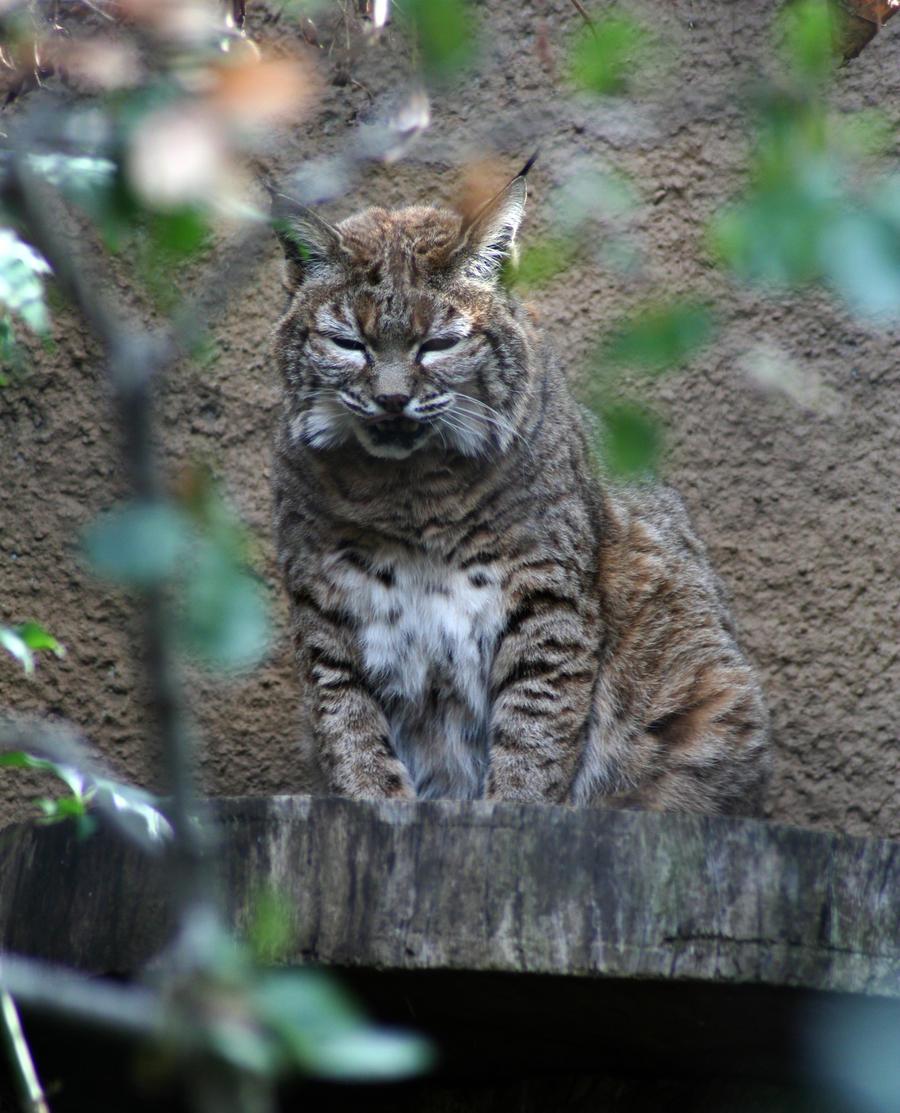Bobcat by shelly349
