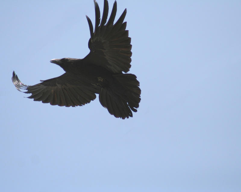 Raven 1 by shelly349