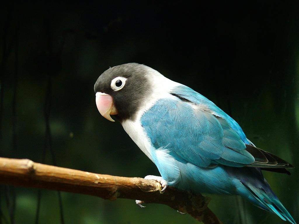 Citaten Love Bird : Blue masked lovebird by angrytalentsman on deviantart