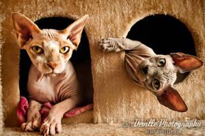 My Sphynx Cats