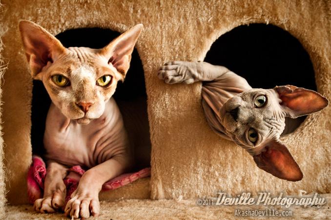 http://fc00.deviantart.net/fs70/f/2011/191/5/c/my_sphynx_cats_by_devillephotography-d3llaa7.jpg