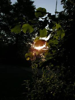 sundown through the leaves