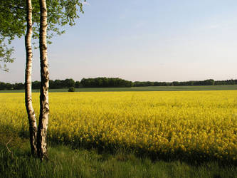 yellow field in may 08 by JSaurer